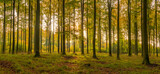 Fototapeta Do pokoju - autumn beech forest