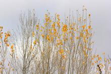 Yellow Poplar Leaves In Autumn