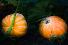 Two Pumpkins In The Garden
