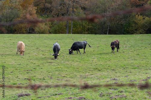 Foto Vacas, atentas y disfrutando del pasto en un prado de cantabria