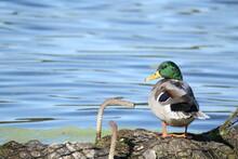 Mallard Duck Sitting On Riverb...