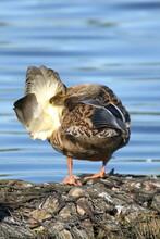 Mallard Duck Sitting On Riverbank