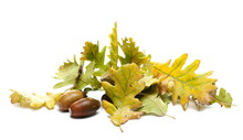 Green And Yellow Autumn Oak Tree Leaves With Acorns, Leaf Pile In Fall Season Colors Isolated On White Background