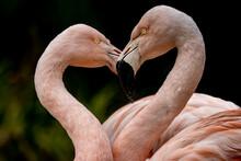 Portrait Of Two Flamingos