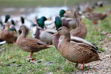 Mallard Ducks Sitting On A Gra...