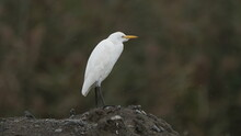 Great Egret (Ardea Alba), Also...