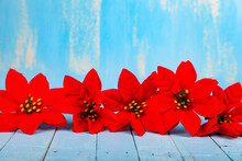 Red Poinsettia Flowers On A Blue Wooden Table.