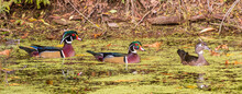 Two Male Wood Ducks And One Female