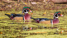 Two Male Wood Ducks Swimming