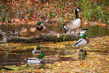 Mallard Ducks And Canada Geese.  Focus Is On The Canada Goose.