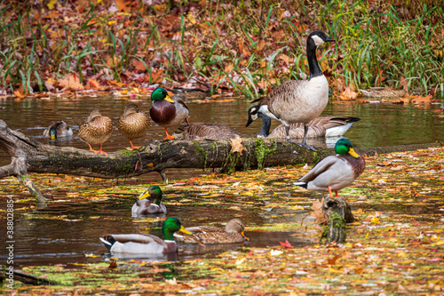 Papel de parede Mallard ducks and Canada geese.  Focus is on the Canada goose.