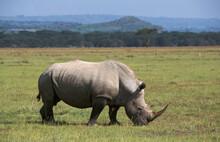 Northern White Rhinoceros, Ceratotherium Simum Cottoni