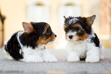 Two Yorkshire Terrier Puppies On The Floor