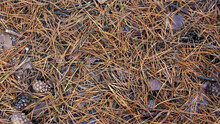 Brown Detailed Autumn Background Of Fallen Dry Pine Needles. Natural, Autumn Forest Background. View From Above.