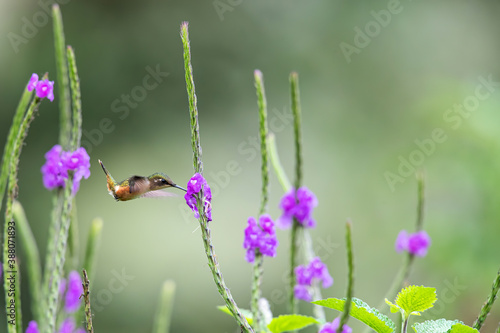 Naklejka premium Magenta throated Woodstar- hummingbird - Calliphlox bryantae - female flying to pick up nectar from a beautiful flower , San Isidro del General, Costa Rica. Action wildlife scene from nature.