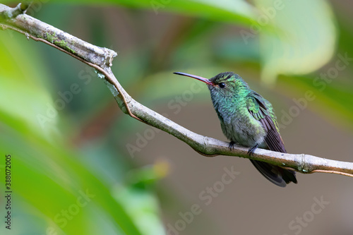 Naklejka premium Rufous-tailed hummingbird (Amazilia tzacatl) sitting on a branchr , San Isidro del General, Costa Rica. Action wildlife scene from nature.