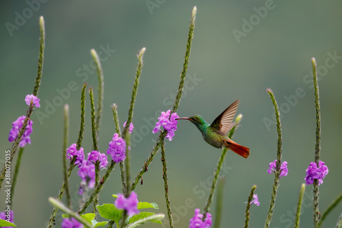 Naklejka premium Rufous-tailed hummingbird (Amazilia tzacatl) flying to pick up nectar from a beautiful flower , San Isidro del General, Costa Rica. Action wildlife scene from nature.