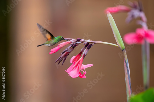 Naklejka premium Stripe tailed Hummingbird - Eupherusa eximia - flying to pick up nectar from a beautiful flower , San Isidro del General, Costa Rica. Action wildlife scene from nature.