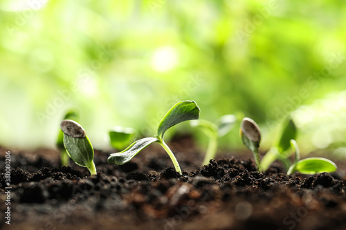 Young vegetable seedlings growing in soil outdoors, space for text Billede på lærred