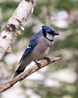 Blue Jay Photo Stock. Blue Jay perched on a branch with a blur background in the forest environment and habitat. Image. Picture. Portrait. Looking at the right side.
