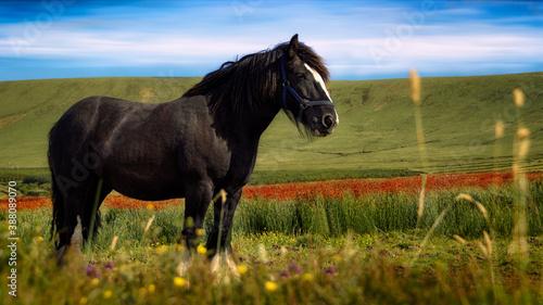 Caballo negro en una campiña irlandesa Canvas