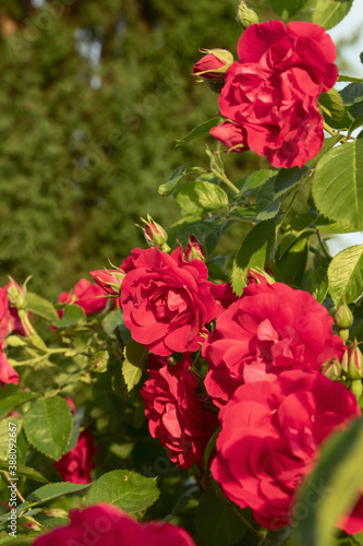 Fototapeta Summer mood with red roses in green foliage