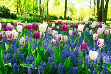 Muscari And Tulips Flowers
