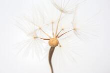 Big Dandelion Seed On White Background