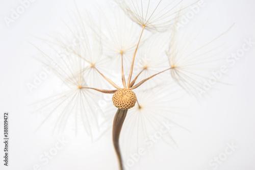 Fotografering big dandelion seed on white background