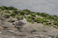 Seagull On The Rocks At The Ri...
