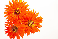 Three Orange Heirloom Zinnia Blooms On A White Background With Copy Space