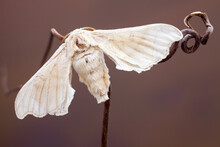 Close Up Of A White Silk Moth On A Thin Branch.