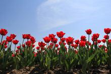 A Row Beautiful Red Tulips At ...