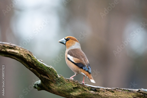 Fototapeta hawfinch on a branch