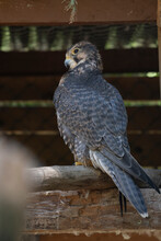 Majestic Peregrine Falcon Perching On A Wood Log Looking Away