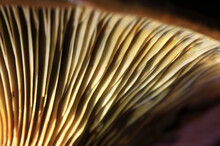 Gills Of Growing Mushroom