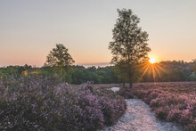 Germany, Hamburg, Fischbeker Heide, Heather Field And Trees At Sunrise
