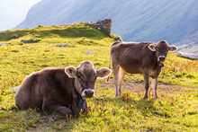 Portrait Of Two Cows Relaxing On Grass In Swiss Alps