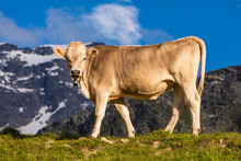 Portrait Of Brown Cow Wearing Cow Bell Standing Outdoors Against Mountains