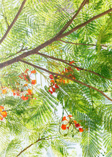 Beautiful Leaves And Flowers From Poinciana Tree