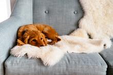 Mini Golden Doodle Puppy Lying...
