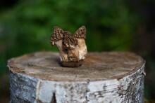 Morel Mushrooms On A Tree Stump