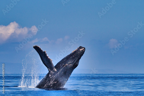 Canvastavla Side view of a humpback whale breaching with pectoral fin extended