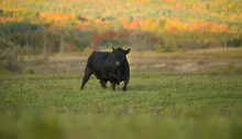 Big Black Angus Bull In Green Pasture Field In Fall Rural Setting On Small Beef Farm With Breeding Stock In Ontario Canada