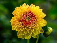 A Yellow Flower In Full Splend...