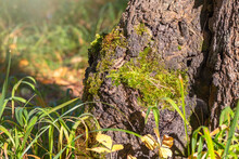 Old Tree Stump With Moss In Th...