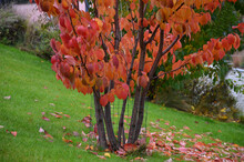 Is An Early Flowering Tree, A Flower Of Delicate Pink Half-full Flowers. The Deciduous Leaves Are Dark Green, Finely Serrated At The Edges, 7-10 Cm Long. The Shape Of The Crown Is Rather Tangled With