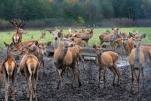 Group Of Deers In Open Area In Green Forest Background. Nice Wild Animals Close Up. Lithuanian Deers