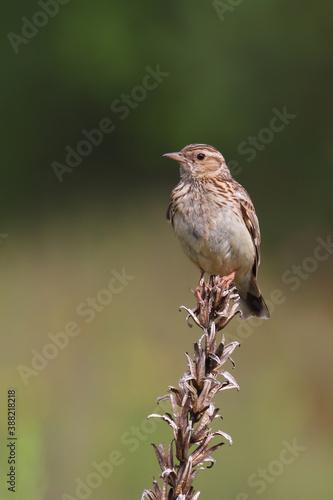 Fotografie, Obraz Woodlark or wood lark. Bird in spring. Lullula arborea