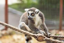 A Primate Lemur With A Long St...